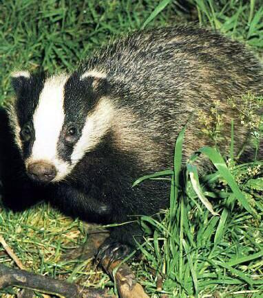 emo-badger-save-them.jpg