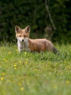 fox-cornwall.jpg