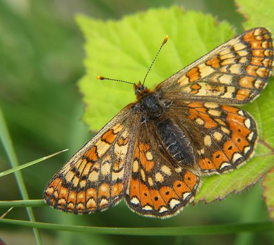 butterfly_marsh_fritillary_euphydryas_au