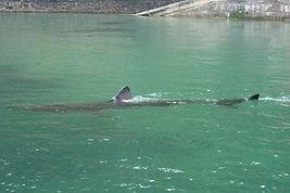 dolphins in fowey