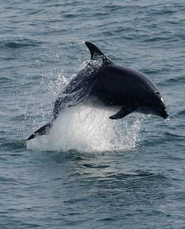 Bottlenose_dolphin_off_Cornwall_Adrian_L