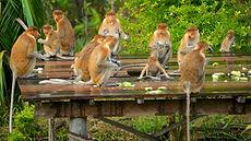 Labuk-Bay-Proboscis-Monkey-Sanctuary-439