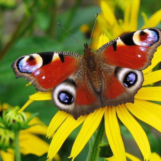 wallpaper-butterfly-peacock-123868.jpg
