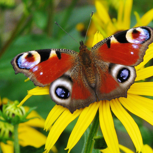 wallpaper-butterfly-peacock-123868.jpg