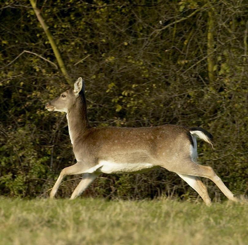 19th Nov 04 Deer 067.jpg