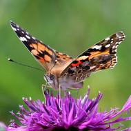 Painted-Lady-butterfly-mi-002.jpg