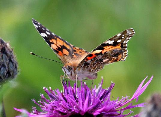 Painted-Lady-butterfly-mi-002.jpg