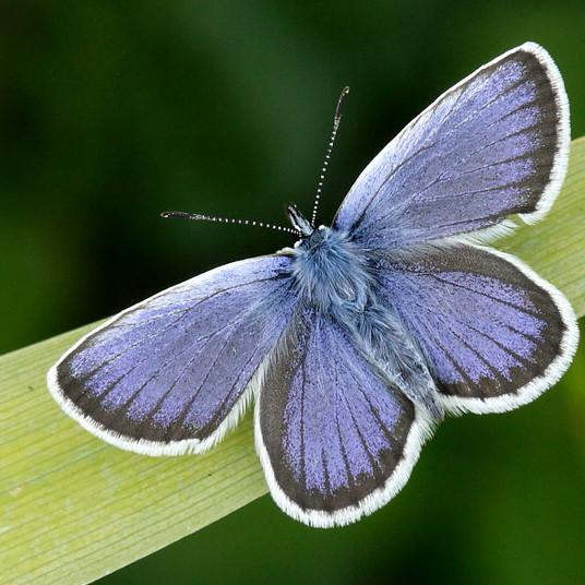silver-studded_blue_male_0448.jpg