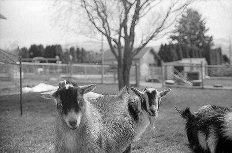 Cara's Goats, 2018.