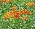 butterflyweed.jpg