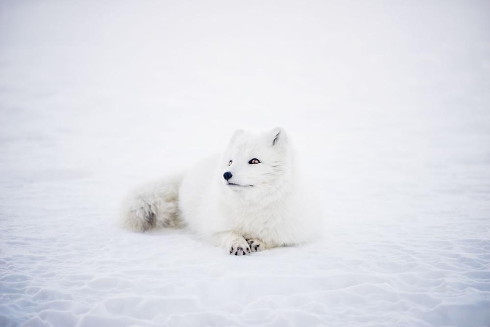 cute-white-arctic-fox-sitting