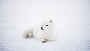 Foxy ladies – Extra Pair Paternity in 'Monogamous' Arctic Foxes