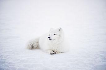 Fox del invierno