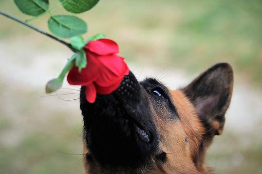 red-rose-5584238_1920.jpg