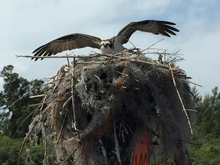 Five Osprey Nests On Navigational Markers, March 2016