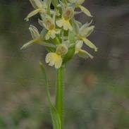 Dactylorhiza--insularis--5187.jpg