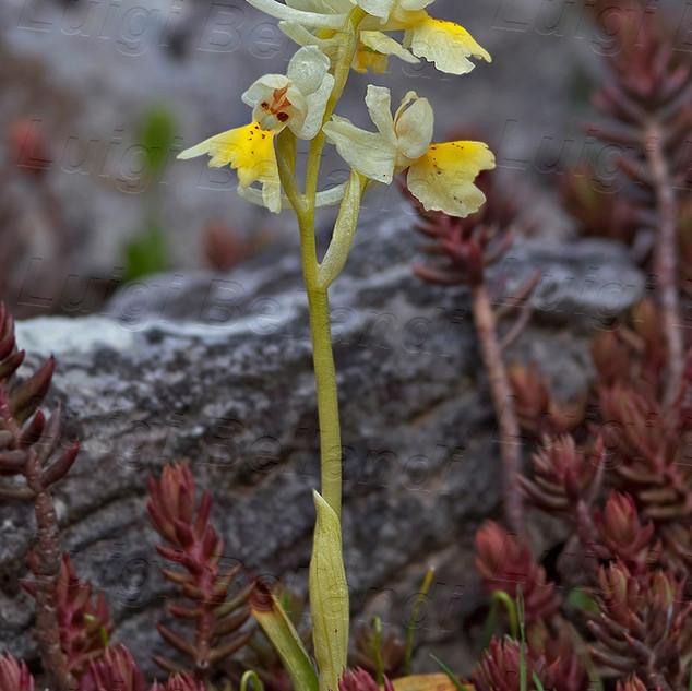 Orchis--pauciflora-2331.jpg