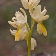 Orchis--pauciflora-2363.jpg