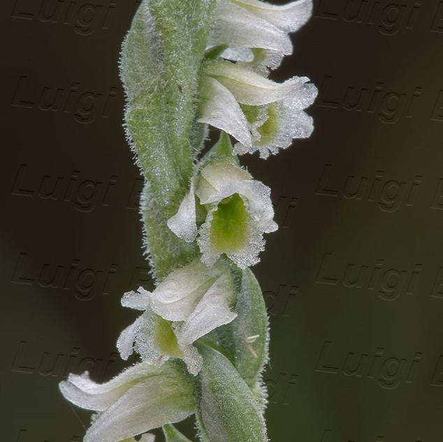 Spiranthes-spiralis-0084.jpg