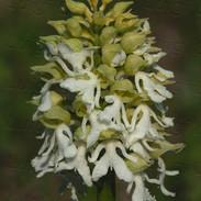 Orchis--purpurea--9328_2.jpg