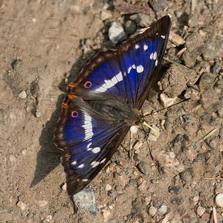 Apatura-iris.jpg