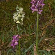 Dactylorhiza-romana-043.jpg