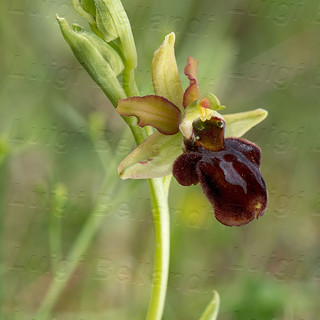 Ophrys--Majellensis-_9415.jpg