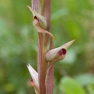 Serapias--vomeracea--6431.jpg