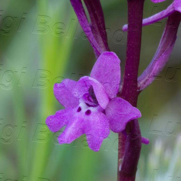 Orchis--quadripunctata--7098.jpg