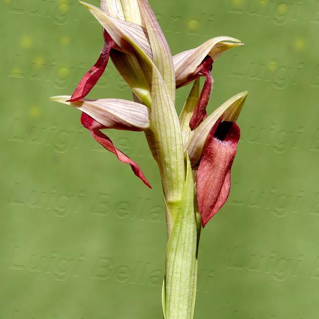 Serapias-parviflora-x-S.-lingua-5773.jpg