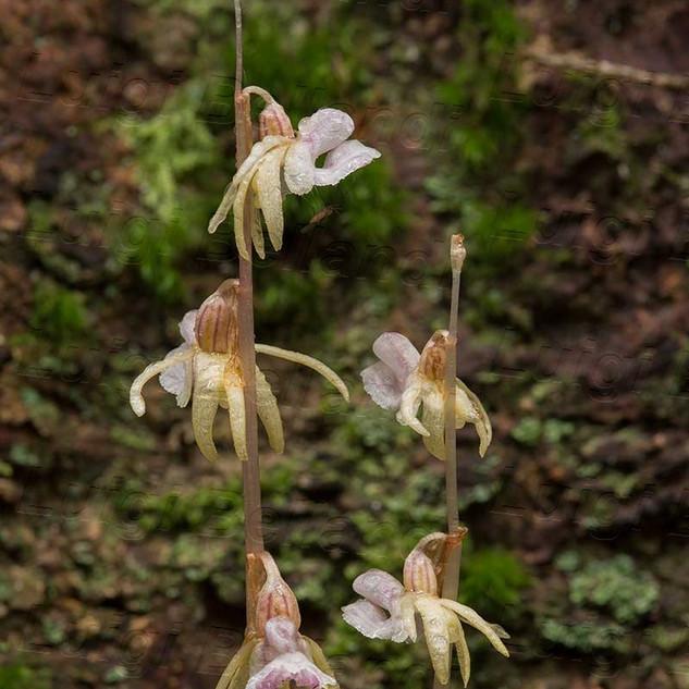 Epipogium--aphyllum--_7646.jpg