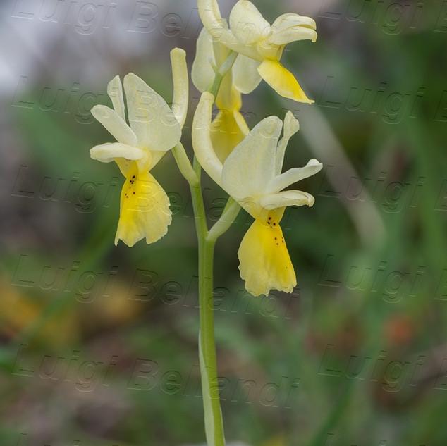 Orchis-pauciflora-8574.jpg