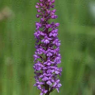 Gymnadenia-conopsea-6895.jpg