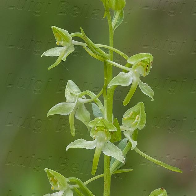 Platanthera--chlorantha-7604.jpg