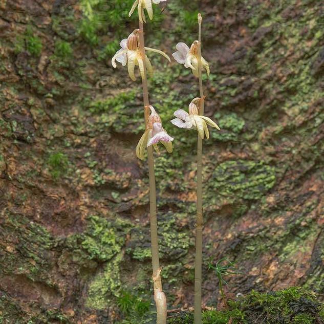Epipogium--aphyllum-_7615.jpg