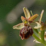Ophrys-maritima--5442.jpg