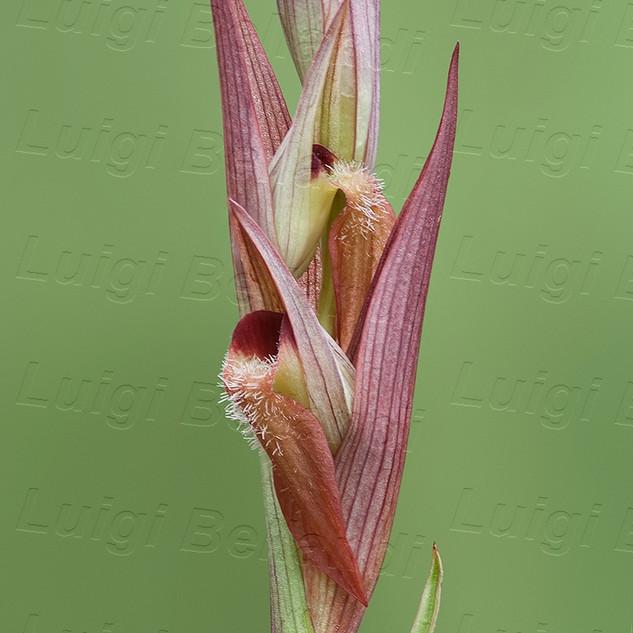 Serapias--vomeracea-6646.jpg