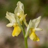 Orchis-pauciflora-8528.jpg