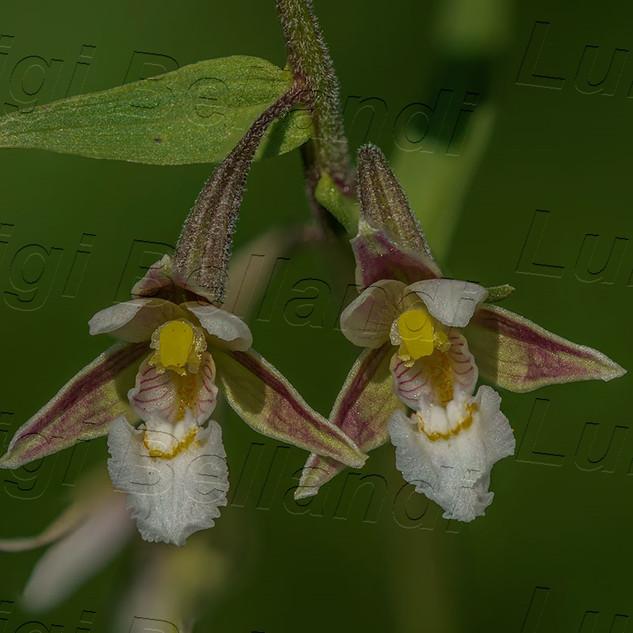 Epipactis-palustris-(FS)-6795.jpg