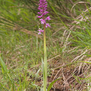 Orchis--mascula-6281.jpg