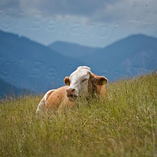Mucca-Dolomiti-4426.jpg
