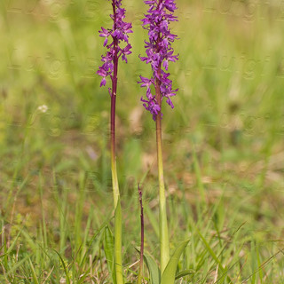 Orchis-mascula-0234.jpg