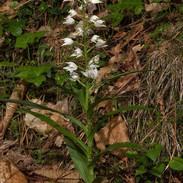 Cephalanthera-longifolia-041.jpg
