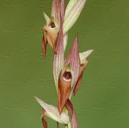 Serapias--vomeracea-7273-.jpg