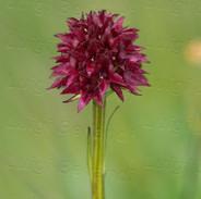 Nigritella-nigra-3063.jpg