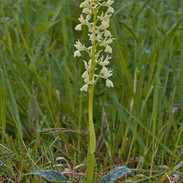 Orchis--provincialis-4756.jpg