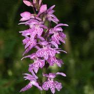 Dactylorhiza-maculata-ssp.-saccifera--06