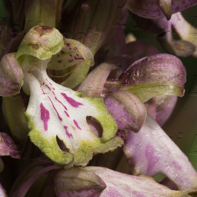 Himantoglossum--robertiano-2189.jpg