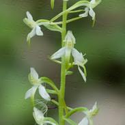 Platanthera--bifolia-.jpg