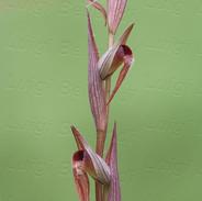 Serapias--vomeracea-6632.jpg